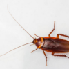 Palmettobug